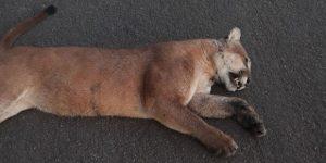 Onça é encontrada morta em rodovia de Cosmópolis