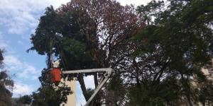 Árvores comprometidas são erradicadas em Americana