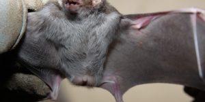Americana registra segundo caso de raiva em morcego