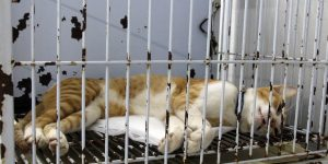Mogi Mirim realiza castração gratuita de gatos