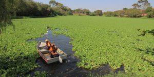 Tem inicio a retirada de aguapés da lagoa do Jardim Amanda em Hortolândia